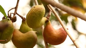 IndierAyurveda medicinska frukter stock video