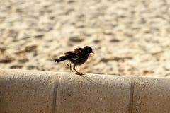IndierMyna Bird fågelunge på en balustrad på stranden Arkivfoto