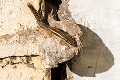 Indiern gömma i handflatan ekorren (den Funambulus palmarumen) Arkivbild