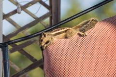 Indiern gömma i handflatan ekorren (den Funambulus palmarumen) kopplar av på överkanten av fåtöljens backrest Royaltyfri Bild