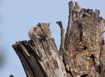 Indiern gömma i handflatan ekorren på ett dött träd Arkivbilder