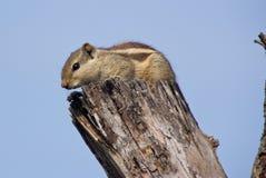 Indiern gömma i handflatan ekorren på ett dött träd Arkivfoto