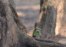 Indiern gömma i handflatan ekorren på trädet ah bizhyuteriyagoaindia handlar det indiska near havet kvinnor Arkivfoto
