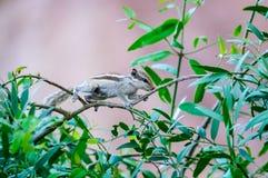 Indiern gömma i handflatan ekorren som omkring strövar omkring i trädgård Fotografering för Bildbyråer