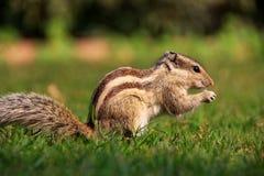 Indiern gömma i handflatan ekorresammanträde på ett gräs Royaltyfri Fotografi