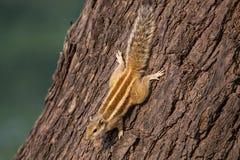 Indiern gömma i handflatan sammanträde för den ekorreFunambulus palmarumen på ett träd Fotografering för Bildbyråer