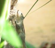 Indiern gömma i handflatan ekorren som klättrar ett träd Royaltyfri Fotografi