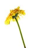 Indietro del fiore giallo della gerbera Fotografie Stock