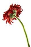 Indietro del fiore rosso della gerbera Immagini Stock Libere da Diritti