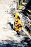 Indietro del gatto tricolore Immagine Stock Libera da Diritti