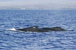 Indietro della balena di Humpback due Fotografia Stock Libera da Diritti