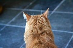 Indietro della testa arancio del ` s del gatto fotografia stock