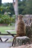 Indietro di meerkat Fotografia Stock Libera da Diritti