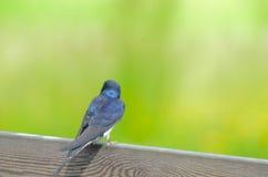 Indietro di uno swallow di granaio Fotografia Stock