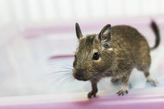 Indigène d'écureuil de Degu vers le Chili Photo libre de droits