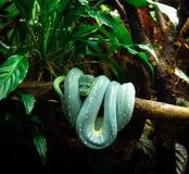 Indigène de python au serpent de la Nouvelle-Guinée photo stock