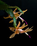 Indigène jaune de cactus de Noël du Brésil Photos libres de droits