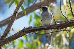 indigène passerine omnivore commun d'oiseau de novaehollandiae au visage noir de Cuckooshrike - de Coracina vers l'Australie et l photo libre de droits