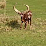 Indigenous African cattle