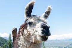The indigenous animal llama of South America stock photos