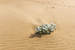 Indigenous Dune Plant Growing in the Beach Sand Stock Photos