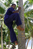 Indigenous Fijian man demonstrates how to climb up on coconut tr Stock Photography