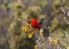 I`iwi Scarlet Honeycreeper stock photos