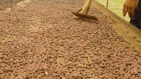 Indigenous Man Moving Cocoa Beans To Dry. In Ecuador Detail Shot stock footage