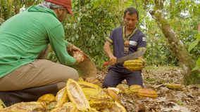 Indigenous Man And Worker Cutting Cocoa Fruits And Harvesting The Beans. Ecuador stock footage