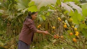 Indigenous old woman harvesting exotic fruit in amazon rainforest. Indigenous old woman harvesting exotic fruit in the amazon rainforest stock video