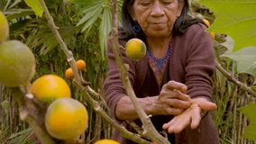 Indigenous old woman harvesting exotic fruit. In the amazon rainforest stock footage