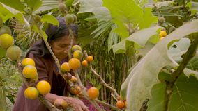 Indigenous old woman harvesting exotic fruit. In the amazon rainforest stock video footage