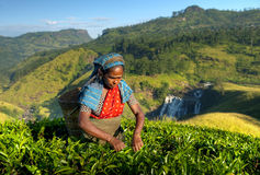 Indigenous Sri Lankan Tea Picker Picking Tea Stock Photography