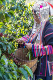 Indigenous tribal dress were harvesting ripe coffee bean Stock Photography