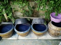 Indigenous and wisdom knowledge of thai people at Sakom nakorn and Phrae about natural colors Mauhom or indigo color in clay pot. For tie batik dyeing at stock photos