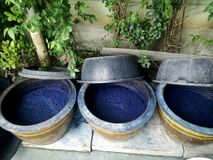 Indigenous and wisdom knowledge of thai people at Sakom nakorn and Phrae about natural colors Mauhom or indigo color in clay pot. For tie batik dyeing at royalty free stock photography