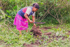 Indigenous woman picking yuca from the garden to prepar yucca bread (cassava) in a traditional way Stock Photo
