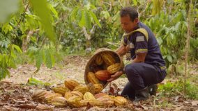 Indigenous Worker With A Basket Harvesting Cocoa Fruits. In Ecuador stock footage