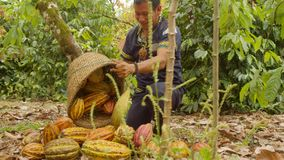 Indigenous Worker Carrying A Basket Harvesting Cocoa Fruits. In Ecuador stock video footage