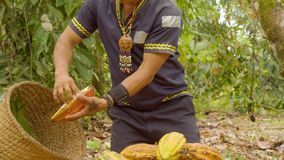 Indigenous Worker Cutting Cocoa Fruits And Harvesting The Beans. Ecuador stock video