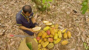 Indigenous Worker Cutting Cocoa Fruits And Harvesting The Beans Top View. Indigenous Worker Cutting Cocoa Fruits And Harvesting The Beans Ecuador Top View stock footage