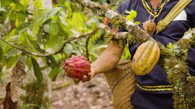 Indigenous Worker Harvesting Cocoa Fruits. In Ecuador stock footage