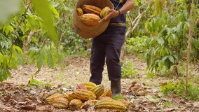 Indigenous Worker Harvesting And Piling Cocoa Fruits. In Ecuador stock footage