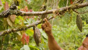 Indigenous Worker Inspecting Cocoa Fruits Detail Shot. Indigenous Worker Inspecting Cocoa Fruits In Ecuador Detail Shot stock video footage