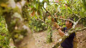 Indigenous Worker Inspecting Cocoa Fruits. In Ecuador stock footage