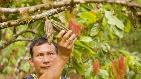Indigenous Worker Inspecting The Growth Of Cocoa Fruits. In Ecuador stock video
