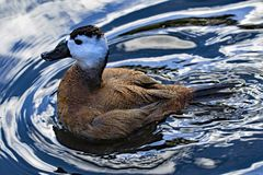 Indignant white headed duck, in North West wetlands. stock photo