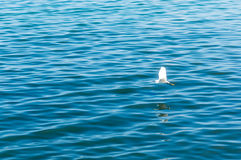 Indigo blauw water en zachte nadruk van Zeemeeuw Royalty-vrije Stock Afbeeldingen