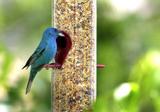 Indigo bunting. At a backyard bird feeder Royalty Free Stock Photos