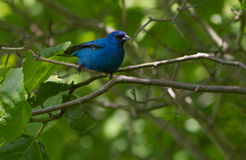 Indigo Bunting Stock Photos